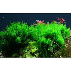 1-2-Grow. Tropica Taxiphyllum 'Flame' 003H TC