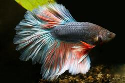 Betta splendens Halfmoon