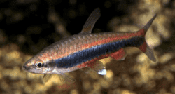 NANNOSTOMUS BECKFORDI