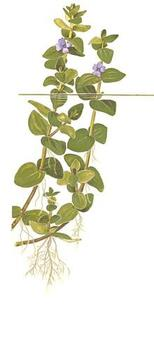 1-2-Grow. Bacopa caroliniana