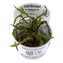 1-2-Grow. Cryptocoryne crispatula