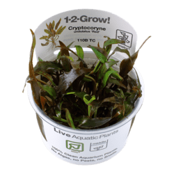 1-2-Grow. Cryptocoryne undulatus 'Red'