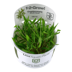 1-2-Grow. Cryptocoryne wendtii 'Green'