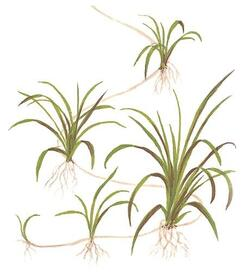 1-2-Grow. Helanthium tenellum 'Green'