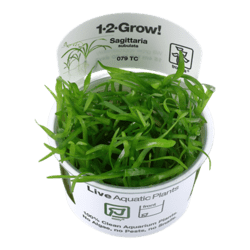 1-2-Grow. Sagittaria subulata