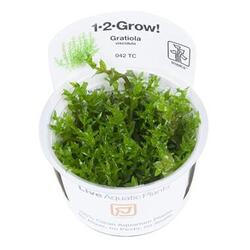 1-2-Grow. Gratiola viscidula