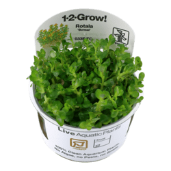 1-2-Grow. Rotala indica 'Bonsai'