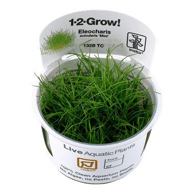 1-2-Grow. Eleocharis acicularis 'Mini'