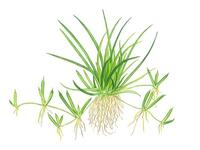 1-2-Grow. Littorella uniflora