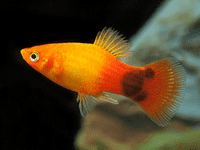 Mickey Mouse Sunset Platy