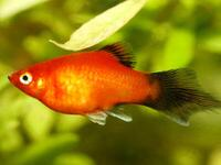 Wag Brush Tail Platy